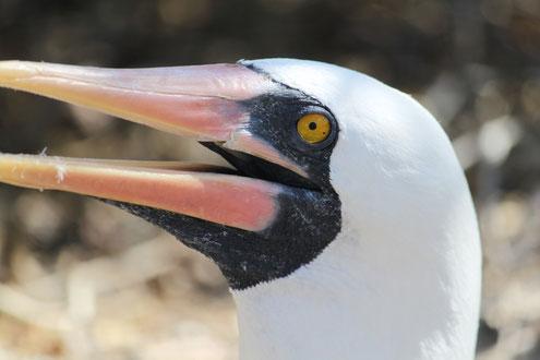 Die Insel Española ist ein wahres Paradies für Vogelliebhaber