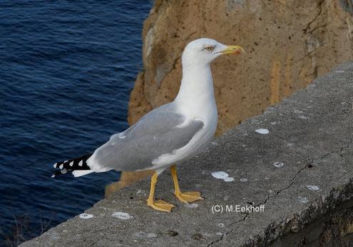 Mittelmeermöwe (Larus michahellis) adulter Vogel, Küste von Catania (Sizilien) [Oktober]