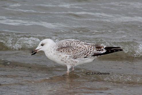 Silbermöwe (Larus argentatus). Vermutlich ein Vogel im zweiten Jahr. Küste bei Zoutelande, NL [September]