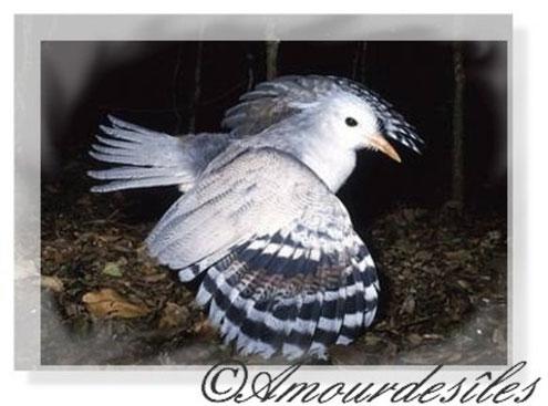 Le Cagou : oiseau qui aboie et ne vole pas. L'emblême de la Nouvelle-Calédonie...