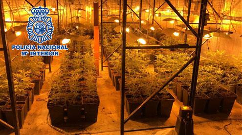 Polizeifoto einer Marihuanaplantage