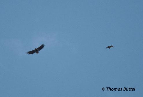 Seeadler (links) und Mäusebussard