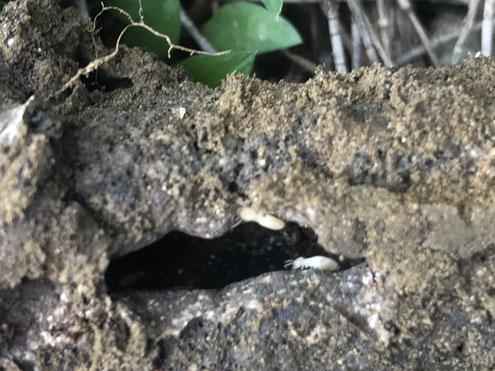 イエシロアリの職蟻が見える