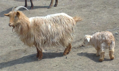 Kaschmir Ziege, Nepal, nur das ausgekämmte Unterhaar wird zu Wolle versponnen