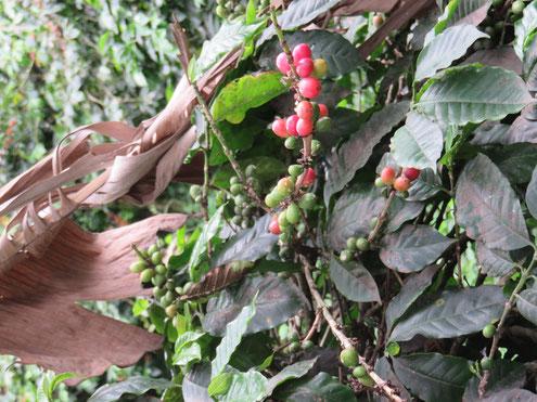 Fahrradtour in der Kaffeezone Kolumbiens