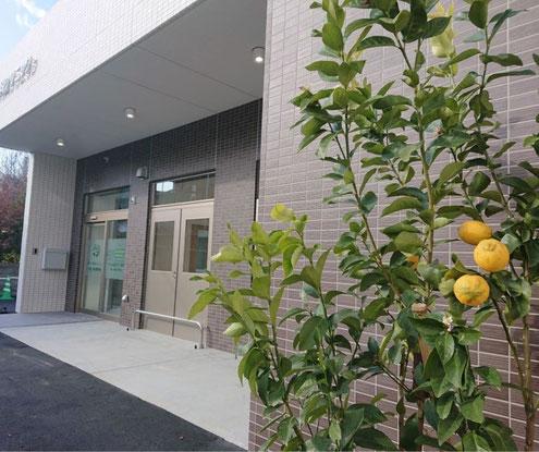 たなべ内科クリニックの玄関を斜めから撮った写真で、玄関横の花壇のレモンの木にはレモンの実がなっている映像の写真。