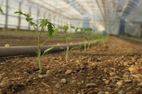 美味しいミニトマトを作るのは土作りから