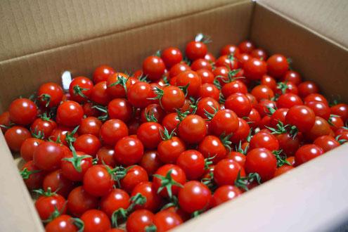 真っ赤で美味しいたくさんのミニトマト