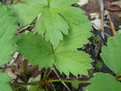 ミツバツチグリの葉