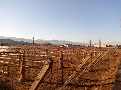 葡萄畑と北アルプス