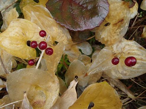 マイヅルソウの黄葉と実