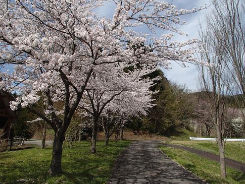 じょんのび館の桜