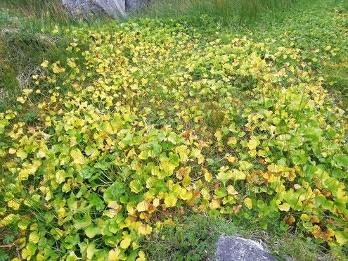 イワイチョウ黄葉