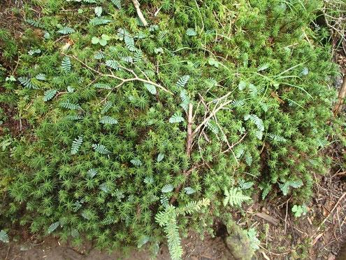 オサバグサの葉