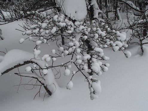 五葉松に雪
