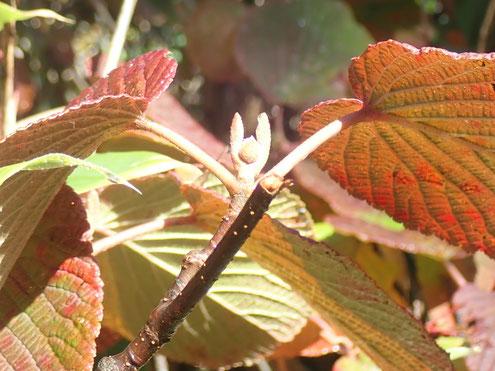 オオカメノキの花芽