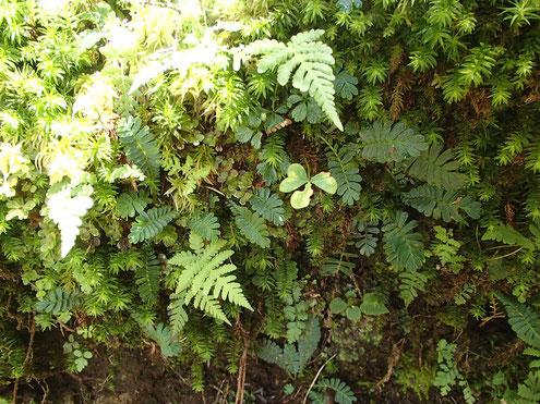 飛龍山西面の苔