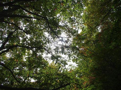 ブナの森に陽が差す