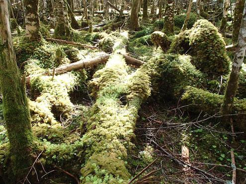 苔に覆われた倒木