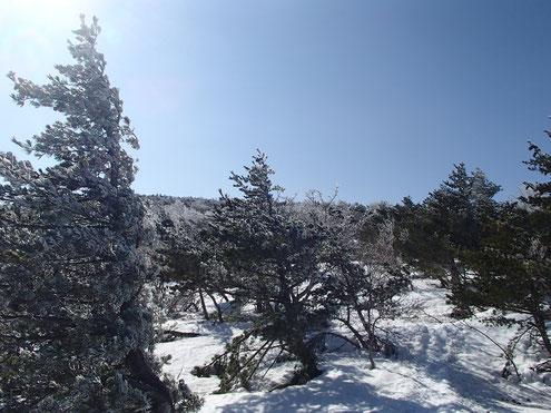 五葉松に樹氷