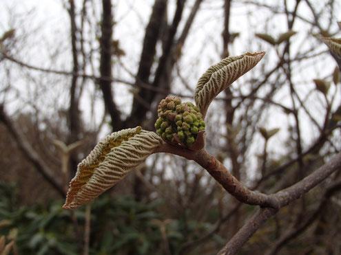 オオカメノキの花芽と葉