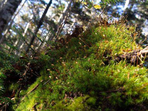 倒木に苔とシラビソの幼木