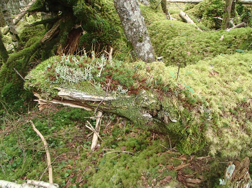 倒木に地衣類と苔