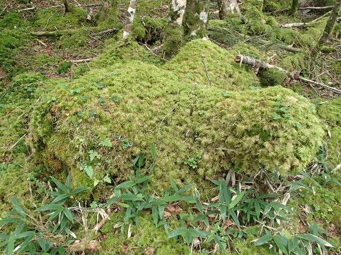 モコモコの苔