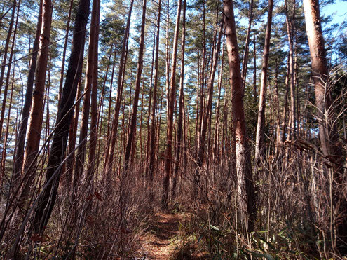 比叡ノ山 赤松林