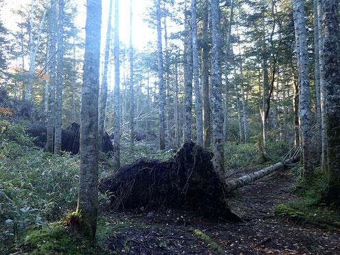オオシラビソの倒木