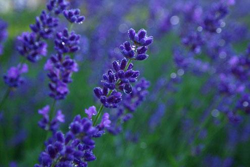 Lavendelblüten mit Tautropfen