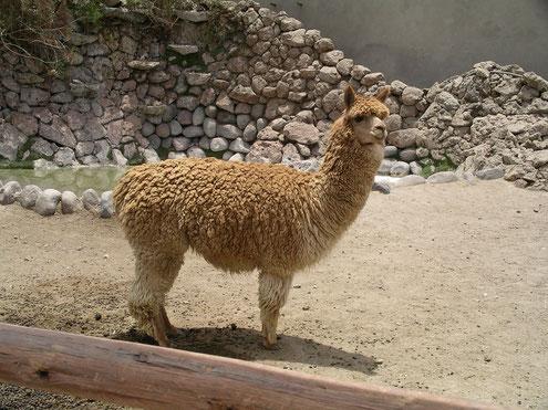Lamas, Alpacas,, Vicunias, alle drei Arten kann man in Peru sehen.