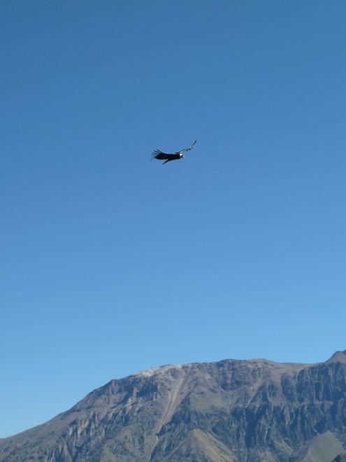 Ein Ausflug zum Colca Canyon erlaubt den Blick auf den majestätischen Flug des Anden-Kondors