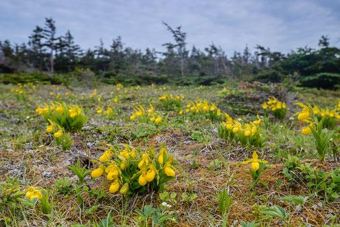 Massenbestände von Behaartem Frauenschuh (Cypripedium pubescens) am Tablepoint