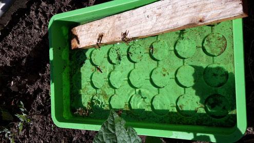 Aussaatschale mit Holz und vielen Wespen (Foto D. Mohr)