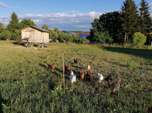 Glückliche Hühner auf der grünen Weide