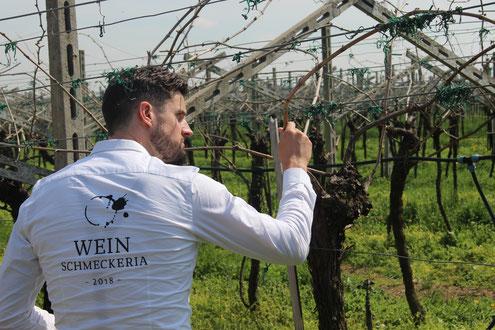 Weinreben Vincenzi Rotwein