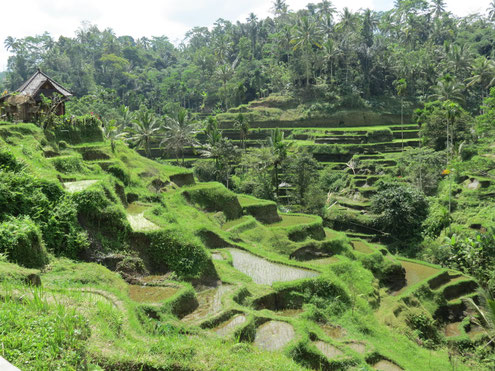 Sawah tour, Bali balo motor, bali balo motor & tours, adventure tours, tours, tour, scooter tour, rice fields, Bali, java, lombok, indonesia, indonesie