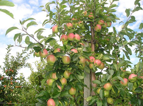 Äpfel auf mein-kirschbaum.de