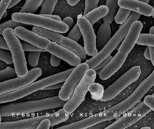 Escherichia coli l'une des espèces bactériennes sous-dominantes du microbiote intestinal - Crédits Creative Commons