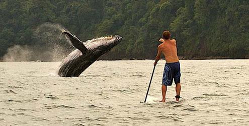 KEINE Fotomontage - aber ein unglaubliches Erlebnis: Buckelwal im Pazifik.
