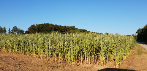 Der Mais leidet unter dem Wassermangel...
