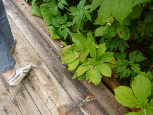 衣笠草と栂池