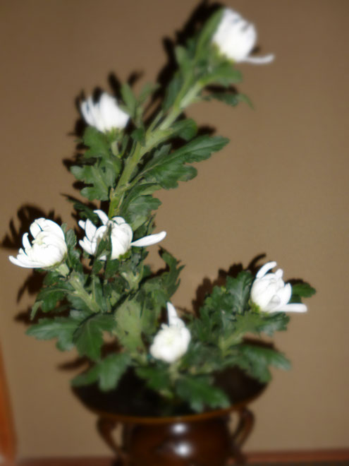 白菊 「鎮魂歌」