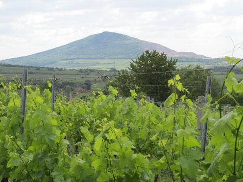 szőlő, kékfrankos, szársomlyó, Weinreben, Berg