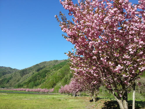 高山市朝日町枝垂れ桜ランキング第6位秋神川河川敷の八重桜
