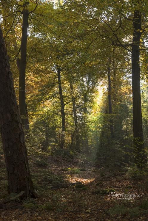 Zonnestralen in het bos. Den Treek te Leusden