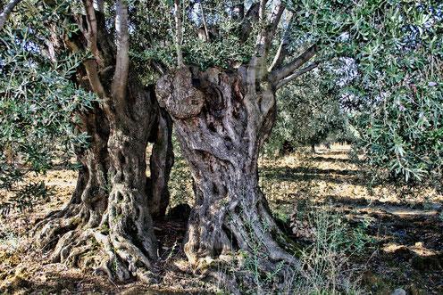 Der Olivenbaum und seine Wurzeln