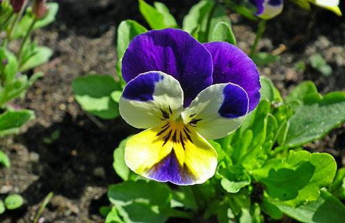 wildes Stiefmütterchen, Viola tricolor, Wirkung, Anwendung, Tee, Umschlag, Heilwirkung