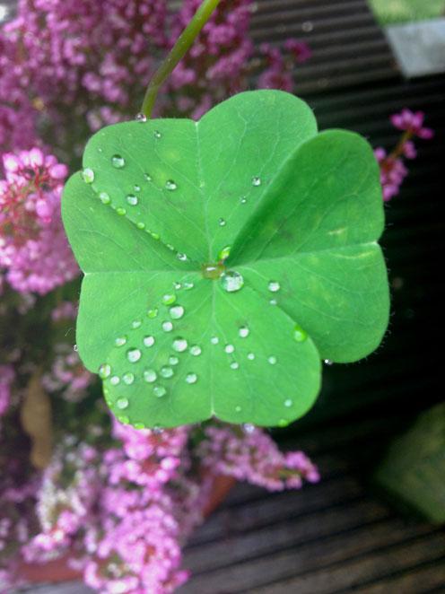 Glücksklee aus Susanne´s Garten
